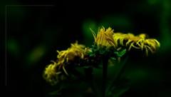 Die meisten Menschen wissen gar nicht,  wie schön die Welt ist und ...  wieviel Pracht in den kleinsten Dingen, in einer Blume,  einem Stein, einer Baumrinde oder einem Birkenblatt sich offenbart.  (Rainer Maria Rilke, 1875-1926) (gabrieleskwar) Tags: blumen blüten blüte freigestellt freistellen outdoor farben formen gelb grün blätter makro draussen natur blütenpracht knospe nikon nikonz6 2470
