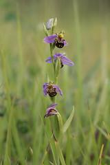 Bee orchid (beaconschris5050) Tags: nikond5600 tamronvc90mmf28macro