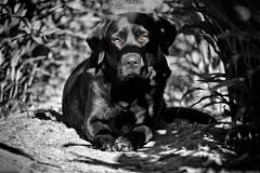 sun protection (uwe.kast) Tags: labrador labradorretriever labradorredriver hund haustier dog schutz sonnenschutz protection sun panasonic lumix g9 100300
