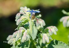 Boretsch mit Biene-05502 (richardmak) Tags: borretsch biene kukumerkraut gurkenkraut