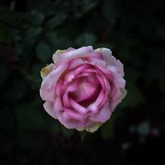 rose (giorgiobattera) Tags: carlzeissjena nature flower rose blossom bloom petal bush pink colors