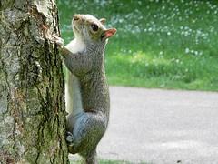 Squirrel 4. (tony allan tony allan) Tags: squirrel greysquirrel wildlife nature naturalworld park tree nikoncoolpixp500
