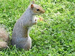 Squirrel 3. (tony allan tony allan) Tags: squirrel greysquirrel animal wildlife nature naturalworld park nikoncoolpixp500