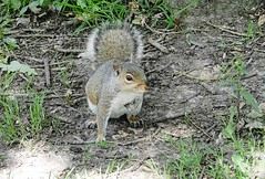 Squirrel 2. (tony allan tony allan) Tags: animal wildlife nature naturalworld squirrel greysquirrel park nikoncoolpixp500