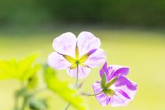 B&B backsite&backlight (herman hengelo) Tags: highkey geranium backsite garden hengelo thenetherlands