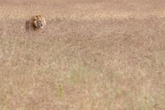 Lion at Ngorongoro Crater, Tanzania (Markus Hill) Tags: arusha tansania löwe lion animal tier nature safari tanzania travel canon 2019 ngorongoro crater krater