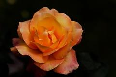 flower 1782 (kaifudo) Tags: sapporo hokkaido japan botanicalgarden rose flower 札幌 札幌市 北海道 北大植物園 薔薇 nikon d810 sigmaapomacro105mmf28 sigma 105mm macro kaifudo