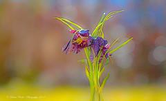 the spring awakens (Diana Ruder Photography) Tags: bokeh beauty beautiful blooming badenwürtemberg blume delicat detail macro light sun flower floral frühling spring dianaruder