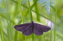 Nõgivaksik; Odezia atrata; Chimney Sweeper (urmas ojango) Tags: moth insects lepidoptera geometridae chimneysweeper insecta putukad odeziaatrata liblikalised vaksiklased nõgivaksik nationalmothweek