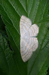 Niidu-lehevaksik; Scopula (Calothysanis) immutata; Lesser Cream Wave (urmas ojango) Tags: lepidoptera liblikalised insecta insects putukad moth vaksiklased nationalmothweek geometridae niidulehevaksik scopulacalothysanisimmutata lessercreamwave