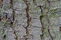 Bark (hermann.kl) Tags: baum tree rinde bark grün green