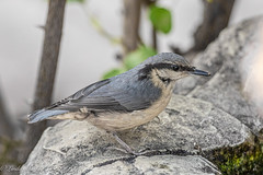 Juvenile Nuthatch (Linda Martin Photography) Tags: uk bird nature animal wildlife dorset juvenile nuthatch sittaeuropaea naturethroughthelens coth specanimal alittlebeauty coth5