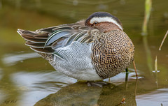 Garganey... (Jeff Lack Wildlife&Nature) Tags: garganey duck ducks wildlife wildbirds wetlands waterbirds waterways wildfowl wildlifephotography jefflackphotography birds bird avian animal animals lakes ponds estuaries estuary reservoirs reeds reedbeds migrant countryside nature