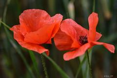 Duo (Savoie 06/2019) (gerardcarron) Tags: challesleseaux fleurs flowers macro