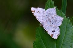 Kase-kärbvaksik; Macaria notata; Peacock Moth (urmas ojango) Tags: lepidoptera liblikalised insecta putukad insects moth vaksiklased geometridae nationalmothweek kasekärbvaksik macarianotata peacockmoth