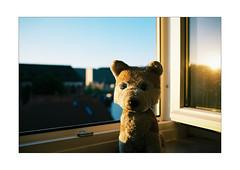 ICH im Sonnenuntergang (WolfiWolf-presents-WolfiWolf) Tags: wolfiwolf wolf wolfi wolfismus weristderschönste würzburg aikidouniversum allein alone abenteuer alsojetzhabianblu analog verdauung vampirismus verletzung huldvoll joy jazz jazzinbaggies meinemajestät himmel tanz treue ich i ibindaslicht ichträumegernvonkleinenwolfis ektar kodak minolta tiere tag traurig sonnenuntergang stüben schöpfung schön strahlen stube schattenmeinerselbst schönheit schweinebauch glück gold huldigtmeinewerke kaffeesatz kunst lupus licht light öhrchen ohrwascherl outside portrait pups pantoffln lupuslupus lichtschatten kleinewolfis kalt butlers blueeyes naturwunder natur noblesse neindashabensiediesmalnicht diesbezüglichmöchteichmichnichtäusern anonymousvisitor quelquejoursàwürzburg