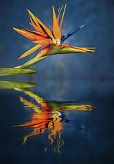 20190625_577c (novofotoo) Tags: birdofparadise botanischergarten digitalimaging paradiesvogelblume strelitziareginae botanicalgarden