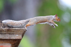 Leap! (Robin M Morrison) Tags: greysquirrel leap