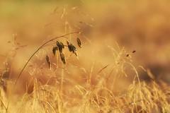 *** (pszcz9) Tags: przyroda nature natura naturaleza zbliżenie closeup trawa grass bokeh beautifulearth sony a77 samyang