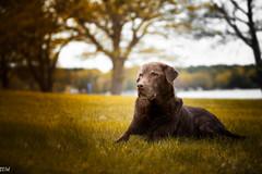Freya Lake (MikeWeinhold) Tags: freya chocolate labrador retriever dog portrait