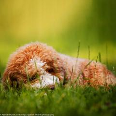 Ace III (patrick_illhardt) Tags: dog dogportrait hund portrait animalphotography tierfotografie hundefotografie pet aussiedoodle