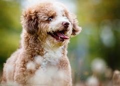 Ace I (patrick_illhardt) Tags: dog dogportrait hund portrait animalphotography tierfotografie hundefotografie pet aussiedoodle
