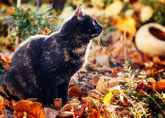Mimi - garden (patrick_illhardt) Tags: cat tortie katze schildpatt catphotography tierfotografie animalphotograpy pet animal haustier feline catportrait