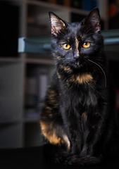 Mimi sitting around (patrick_illhardt) Tags: cat tortie katze schildpatt catphotography tierfotografie animalphotograpy pet animal haustier feline catportrait