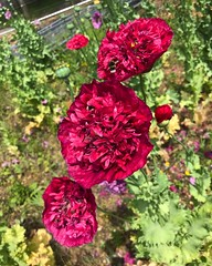 Bees On Peony Poppies (Marc Sayce New 1) Tags: bees bumblebees peony opium poppies growing wild english gardens building site alice holt lodge forest hampshire farnham surrey south downs national park summer june 2019