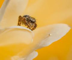 Waiting. (Omygodtom) Tags: tamron90mm tamron macro elitebugs jumpingspider insect wildlife garden flower patience nature d7100 usgs