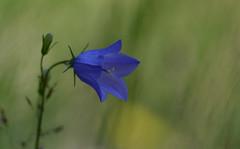 Blåklocka (Dan Bengtsson) Tags: växter blommor