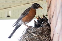 Robin's Nest (Turdus migratorius) (stitchersue) Tags: robin turdusmigratorius nest young nestlings feeding kawarthalakes ontario canada