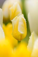 Raindrops (Martin Bärtges) Tags: tulpen colorful farbenfroh yellow gelb weis white drops raindrops regentropfen tropfen nikon z6 nikonfotografie nikonphotography nature natur naturelovers naturephotography naturfotografie outside outdoor outstanding rain drausen spring frühling frühjahr