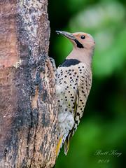 male - flicker (dbking2162) Tags: northernflicker birds bird beautiful beauty nature nationalgeographic wildlife woodpecker portrait explore eyes green indiana