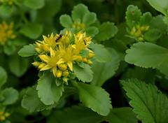 Sedum 251 (jmunt) Tags: gardenflower sedum