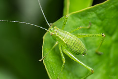 Speckled bush cricket nymph (Shane Jones) Tags: speckledbushcricket cricket insect wildlife nature nikon d810 50mmf18 50mmf18reversed pk3extensiontube pk3x2 macro macrolife macrophotosnolimits macrolicious