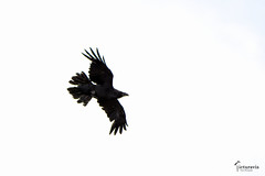 Raven in flight (Picturavis) Tags: imflug vogel bird germany picturavis lüneburgerheide deutschland kolkrabe moor bog inflight commonraven corvuscorax pietzmoor lüneburgheath