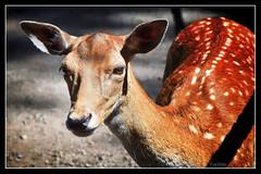 Damwild (r.wacknitz) Tags: damwild damtier essehof braunschweig wolfsburg tierpark zoo animal nikond5600 tamron18200 luminar18