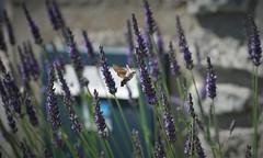 Moro-sphinx (Bushcraft.Eure) Tags: morosphinx moro sphinx macroglossum stellatarum colibri du caille lait macroglossumstellatarum sphinxcolibri sphinxducaillelait hummingbird hawkmoth humming bird hawk moth karpfenschwanz taubenschwänzchen cola de paloma coladepaloma papillonaire geometrapapilionaria papilionaria papillons geometridae moths papillion butterfly wings angelwings normandie valleedeleure normandy wildlife green oss nature sony sonya6000 sonye epz18105mmf4goss 18105mm winged insecte sel18105g ilce6000