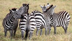 (Markus Hill) Tags: arusha tansania canon 2019 travel ngorongoro crater tanzania africa afrika safaria ostafrika eastafrica nature animal tier zebra