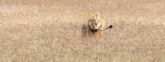Lion at Ngorongoro Crater, Tanzania (Markus Hill) Tags: arusha tansania canon 2019 travel ngorongoro crater tanzania africa afrika safaria ostafrika eastafrica nature animal tier lion löwe