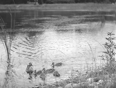 duck with ducklings (Dr Alex O Shevchenko) Tags: bw blackandwhite analogue sheetfilm graflex speedgraphic 4х5 tth taylortaylorhobson rvp rapidviewportrait ilford hp5 film ilfotecddx largeformat