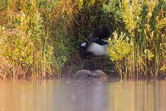 ''L'aventure!'' Plongeon-huar-Common loon (pascaleforest) Tags: oiseau bird animal bébé wild wildlife faune light lumière brume mist québec canada kayak
