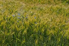 Meadows near Waldenbuch-E6281804 (tony.rummery) Tags: blackforest cornflower em10 germany grass mft microfourthirds omd olympus waldenbuch badenwürttemberg