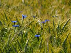 Meadows near Waldenbuch-E6281807 (tony.rummery) Tags: blackforest cornflower crops em10 germany mft microfourthirds omd olympus waldenbuch badenwürttemberg