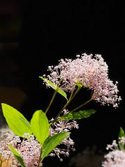 Flowers at Bad Wildbad-E6271691-Edit (tony.rummery) Tags: badwildbad blackforest em10 flower germany mft microfourthirds omd olympus pink plant badenwürttemberg