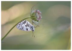 Sans dessus -dessous! - DSC_3320_00001G (isabelle.bienfait) Tags: sigma105 marbledwhite schmetterling butterfly papillon demideuil isabellebienfait