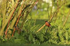 Pair of bullfinches, England. (inyathi) Tags: uk britain england ukwildlife britishwildlife englishwildlife britishbirds birds bullfinches finches pyrrhulapyrrhula