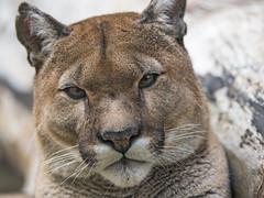 A portrait of Garfield (Tambako the Jaguar) Tags: puma cougar mountainlion big wild cat male old close portrait face cute curious siky park zoo crémines switzerland nikon d5
