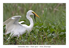 Great egret with fish (Jan H. Boer, Nature photographer) Tags: casmerodiusalbus greategret grotezilverreiger birds herons nature wildlife costarica loschiles nikon d500 afsnikkor200500f56eedvr jan´sphotostream2019
